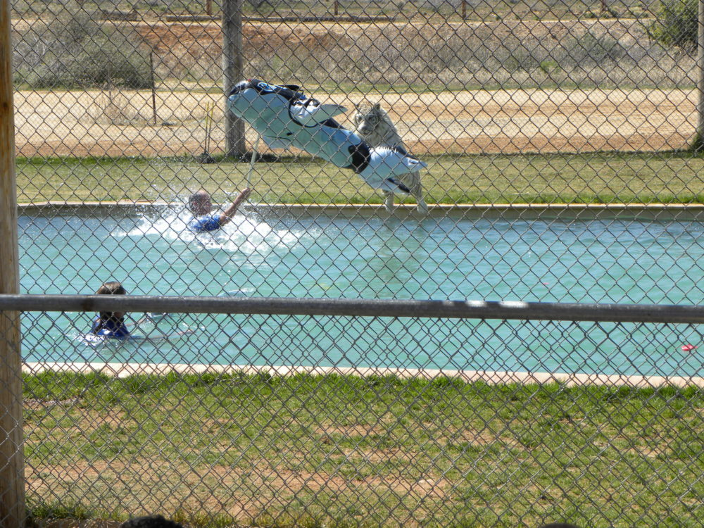 Out of Africa Tiger Splash show. Tiger jumping onto toy. Camp Verde Arizona