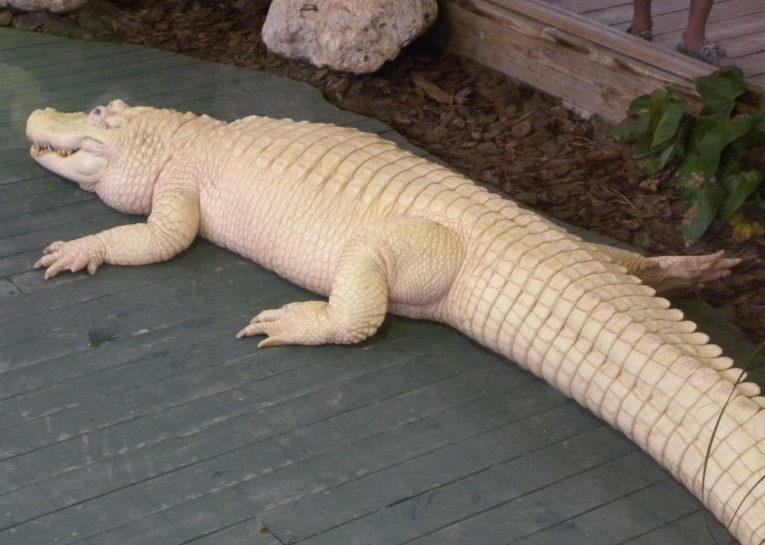 Albino gator at Gatorland