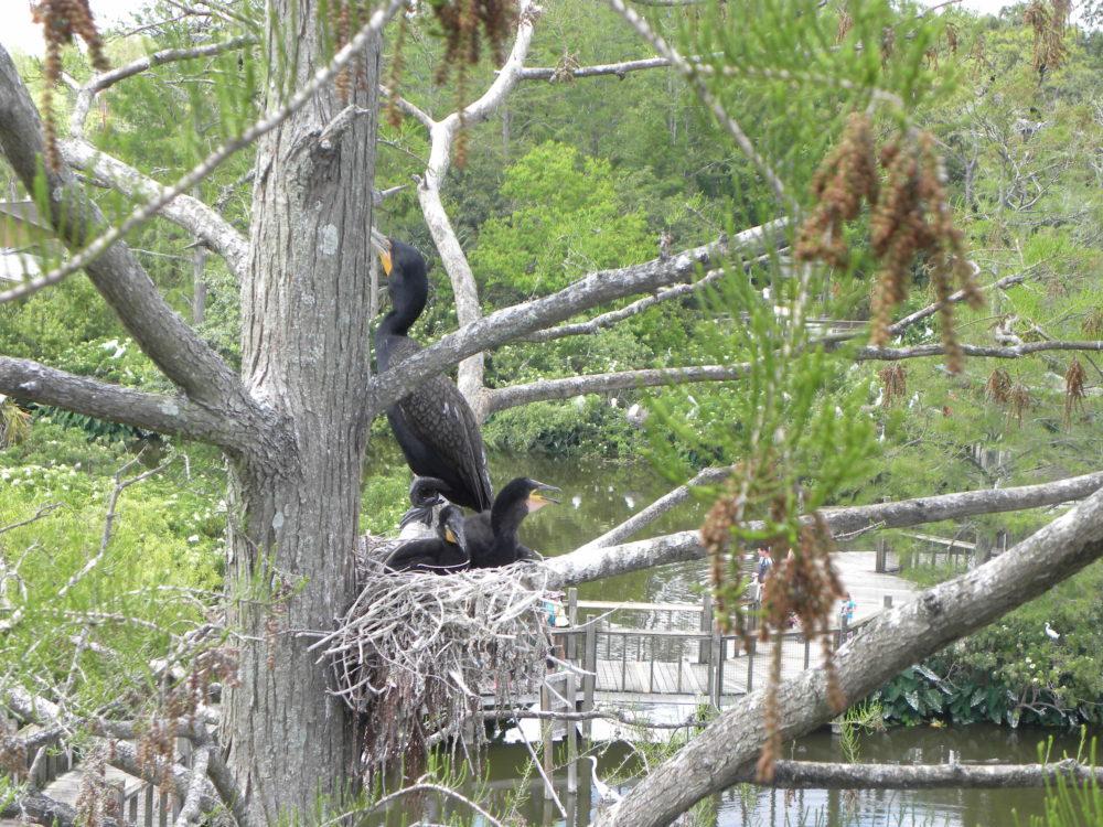 Birds in nest Gatorland Orlando Florida