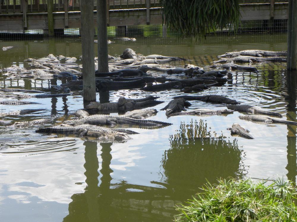Lots of gators in pool at Gatorland in Orlando Florida