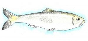 herring-300x140