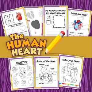 Human Heart Printable Activities