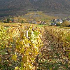 Vignes du Beaujolais, par *cerise* sur Flickr