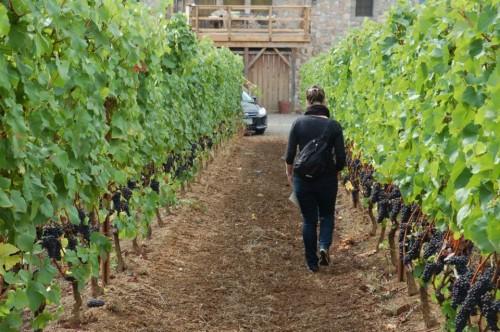 Dans les vignes de pinot chez Lenné