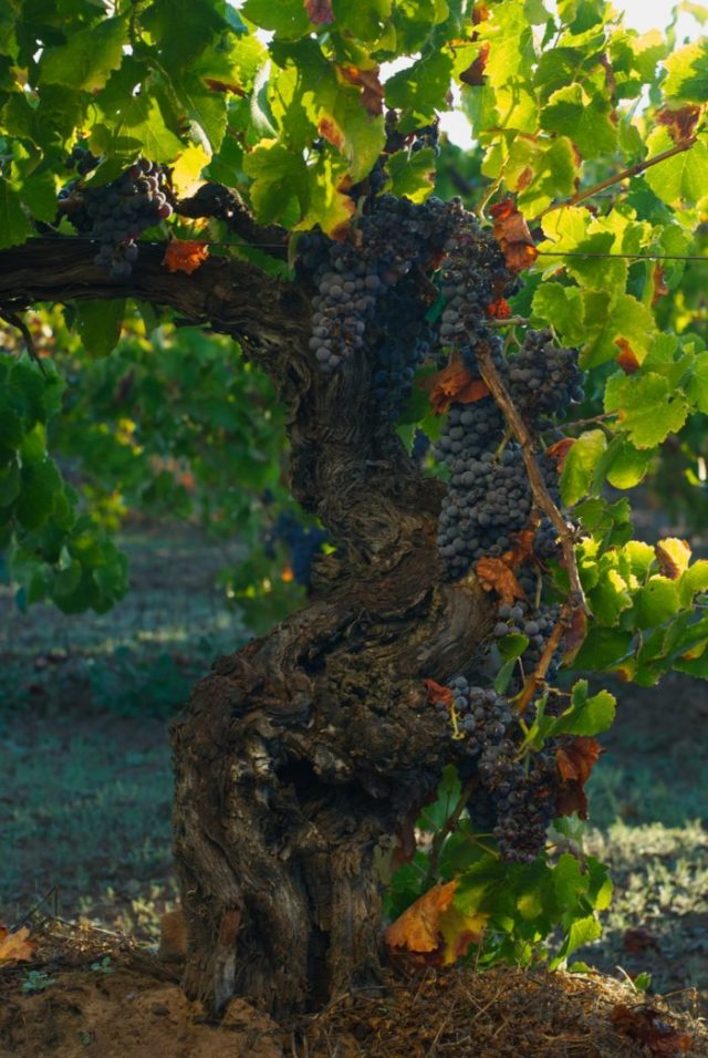 Vieux plant de granache de Besson Vineyard (Photo: Birichino.com)