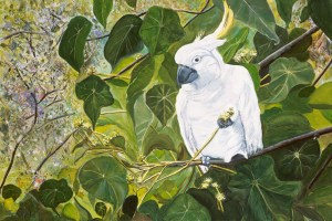 Chewing-the-macaranga sulphur crested cockatoo, Julie Schofield