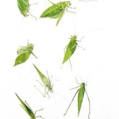 Cricket Life Cycle Diagram Hifonics Wiring Julie Zickefoose Com Art And Photo Gallery Oblong Winged Katydids