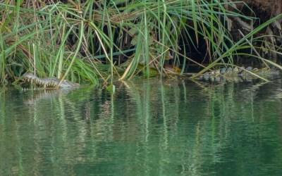 Crocodiles in San Blas