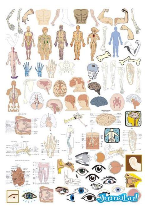 anatomia-brazos-esqueleto-organos-vectores