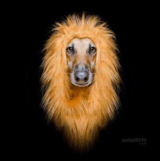 perro-con-melena-leon