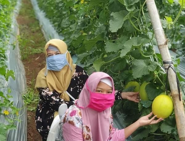 Petik Melon Di Agrowisata Kresna Lampung Atau Hortipark Pesawaran
