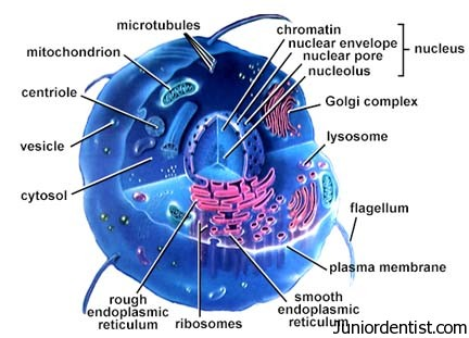 label animal cell diagram worksheet wiring diagrams seymour duncan components and functions of organelles