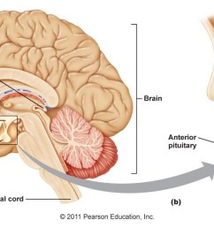 pituitary gland diagram [ 1344 x 612 Pixel ]