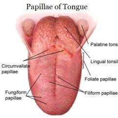Human Taste Buds Diagram Gsr Map Sensor Wiring List Of Papillae Tongue Location And Histology Anatomy