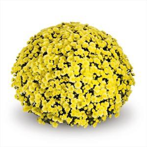 Chrysanthemum Garden Belgian Jasoda Yellow