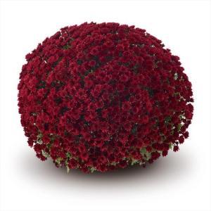 Chrysanthemum Garden Belgian Vigorelli Red