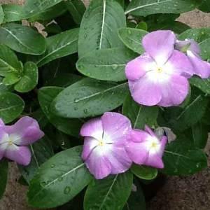 Flowering-Vinca