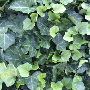 Ground Covers