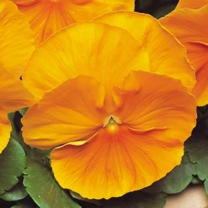 Pansy Matrix Orange