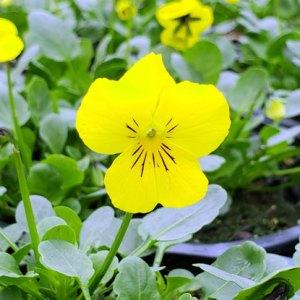 Flowering Annuals (Spring)
