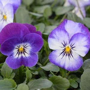 Viola-Penny-Purple-Picotee