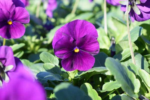 Viola-Penny-Violet