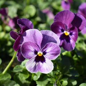 Viola-Sobert-XP-Raspberry