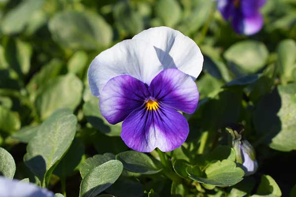 Viola-Sobert-XP-Violet-Beacon
