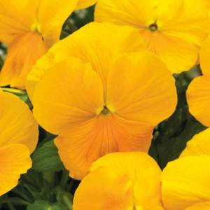 Viola_ColorMax_Clear-Yellow