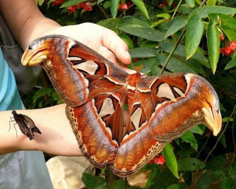 fluture cobra