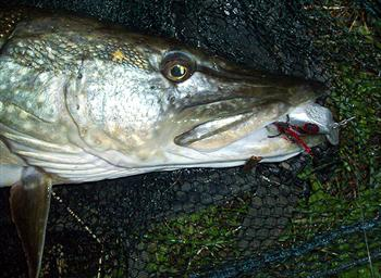 Pike with fishing Lure in mouth