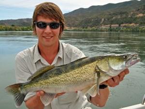 zander caught jigging on the river Ebro