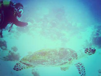 Eine echte Karettschildkröte durchwühlt den Grund nach Futter und kaut mit ihren festen, messerscharfen Kiefern auf irgendetwas rum, das von weitem aussieht wie Stück Hartkoralle. ägypten schildkröte tauchen rotes meer echt karettschildkröte