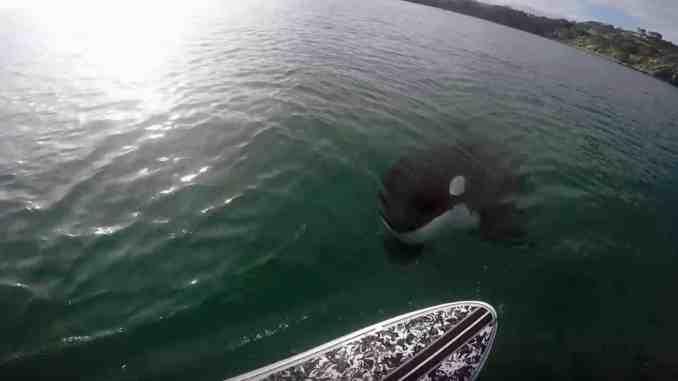 orca sup neuseeland Der Orca ist von hinten direkt unter das Board des Stand Up Paddlers getaucht. Foto: youtube.com