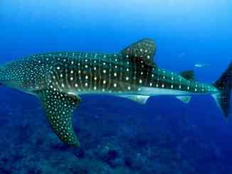 Der Walhai ist der größte Fisch der Welt: Er lebt in allen Weltmeeren. Foto: Pixabay