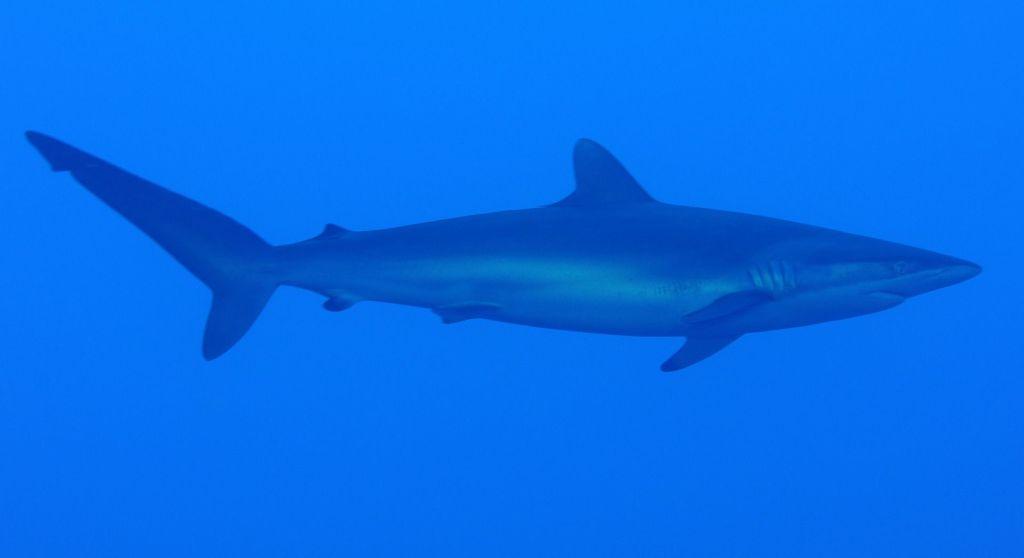 Auch Seidenhaie können im Mittelmeer vorkommen. Foto: Pixabay