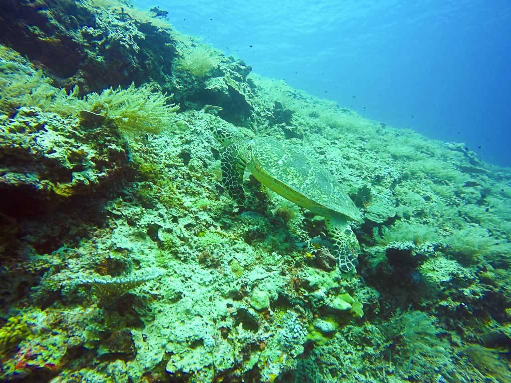 Meeresschildkröten sieht man um die Gili Inseln herum sehr häufig.
