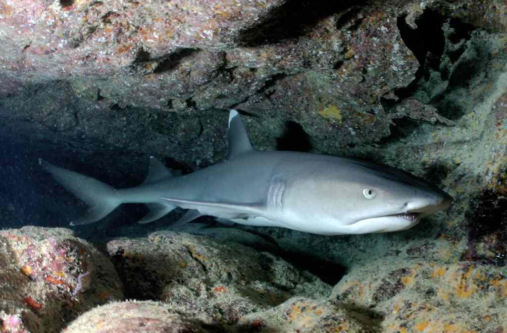 Ein Weißspitzen-Riffhai liegt in einer Höhle. Foto: Pixabay