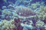 Echte Karettschildkröte: Sie kann im Roten Meer häufig bewundert werden. Foto: Sascha Tegtmeyer