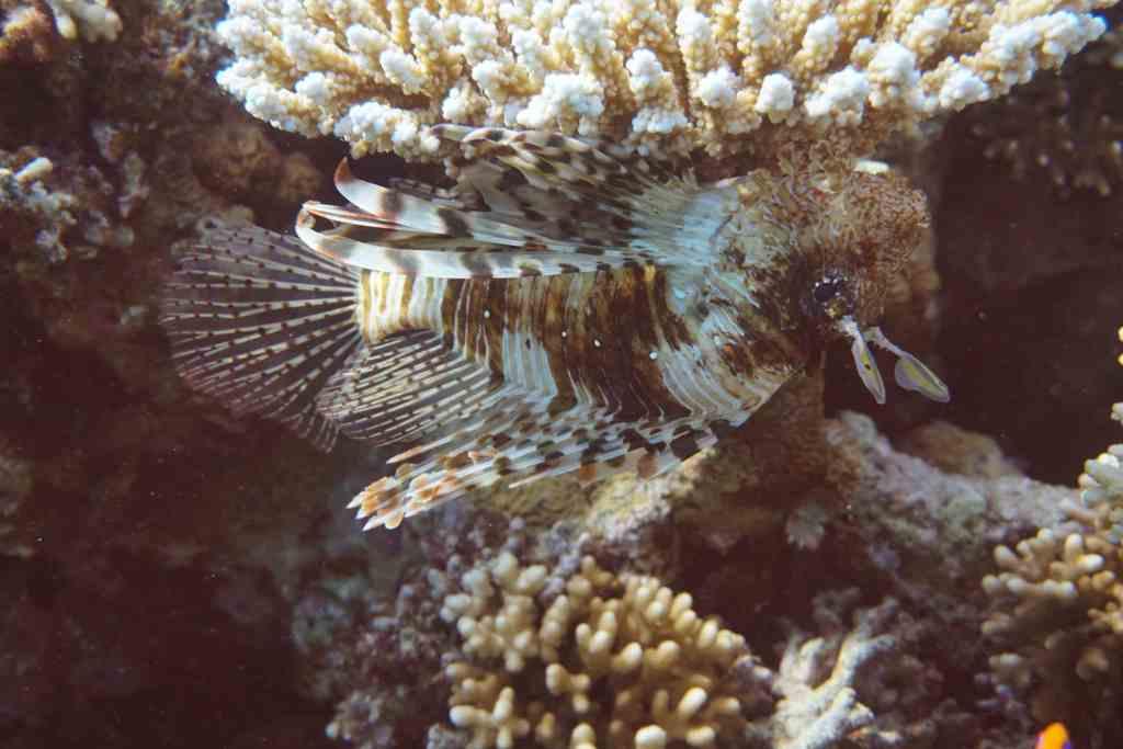 Ein Rotfeuerfisch an einer Koralle. Foto: Sascha Tegtmeyer