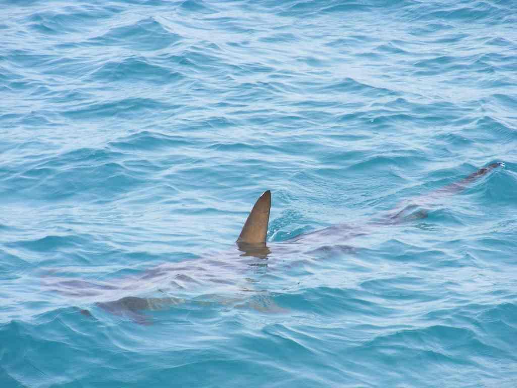 Ein Hammerhai kommt eher selten an die Oberfläche. Foto: Pixabay