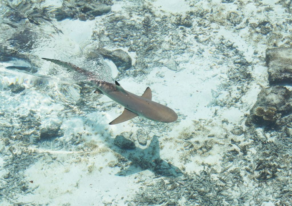 Schwarzspitzen-Riffhaie kommen auf den Malediven häufig vor. Foto: Pixabay