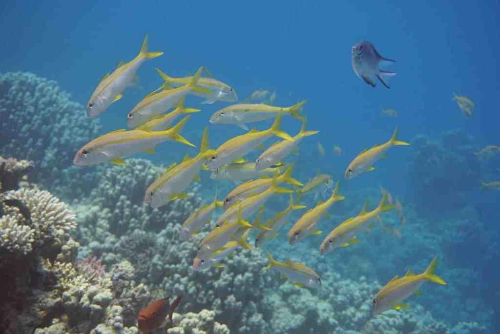 Fische am Riff: Tauchen in Safaga ist einfach ein Abenteuer! Foto: Sascha Tegtmeyer