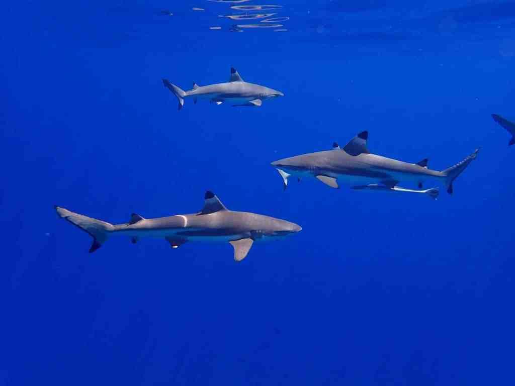 Der Große Schwarzspitzenhai kann ebenfalls im Mittelmeer vorkommen. Foto: Unsplash