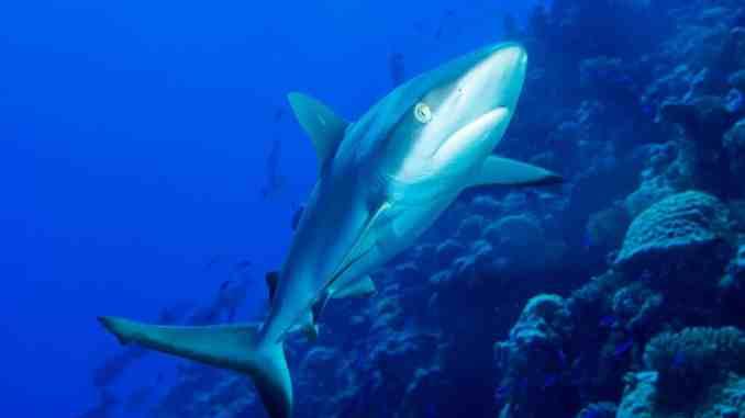 Haie auf Mauritius: Der Grauhai ist in den Gewässern des Indischen Ozeans relativ häufig zu beobachten. Foto: Unsplash
