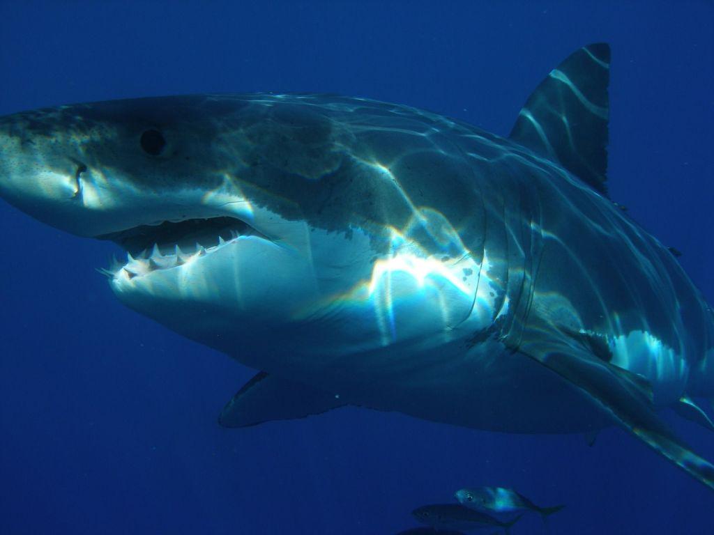 Mythos vom großen, bösen Weißen Hai: Haie auf Mauritius sind in der Regel völlig ungefährlich. Foto: Pixabay