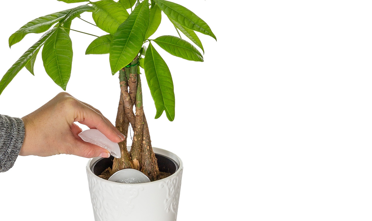 Money Tree Plants  Just Add Ice Orchids