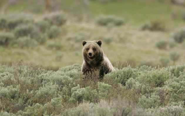 Grizzly bears represent the abundance of wildlife in Yellowstone. NPS photo by Jim Peaco