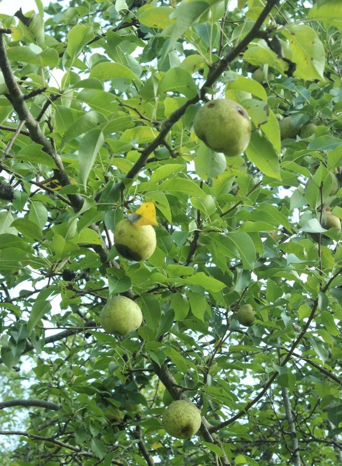 Bradford Pears