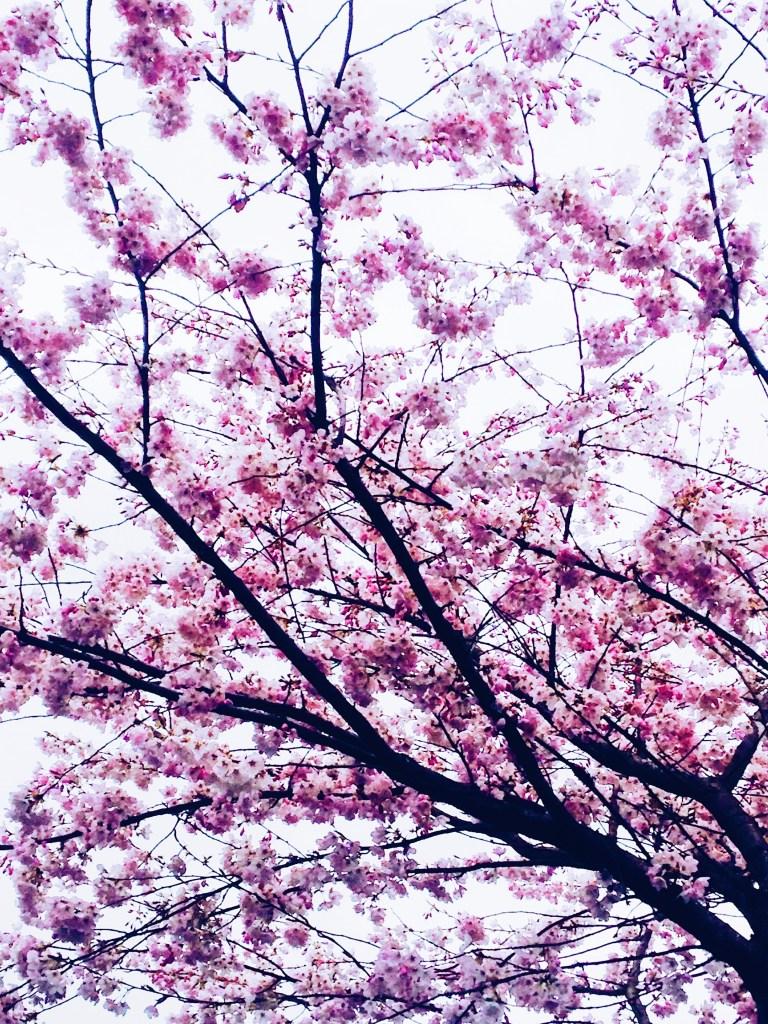 It's Cherry Blossom Season In Vancouver Again!